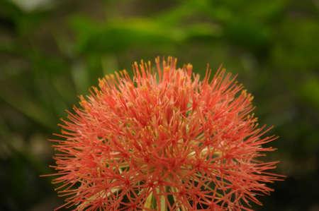 powder puff: Flower in red sphere shape - Blood flower, Powder puff lily, Haemanthus multiflorus