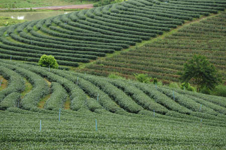 Top view of tea plantation hill in the northern part of Thailand, Chiangrai photo