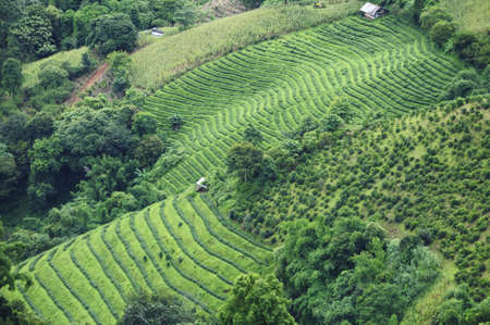 Top view of green hill with slope of tree lines and green field in the northern part of Thailand, Chiangrai photo