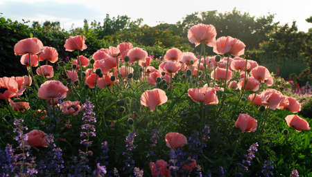 bloomy: Oriental poppy in salmon pink - papaver orientale  with back light Stock Photo