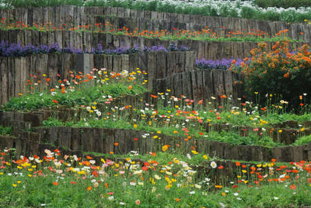 oriental poppy: Background of bed of multicolored oriental poppy - papaver orientale in the park