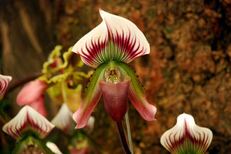 lady s: Lady s slipper Orchid Paphiopedilum
