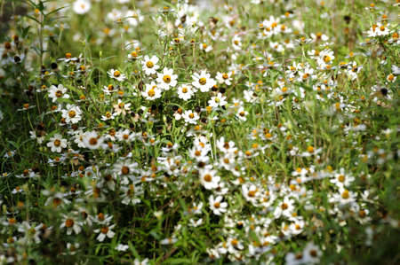 eriocaulaceae: Flowerbed of Eriocaulon henryanum Ruhle in Thailand