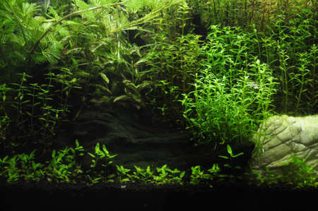 aquascaping: Fragment of the freshwater aquarium green plants