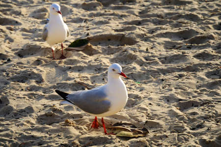 Seagull walking on a sandy beach photo