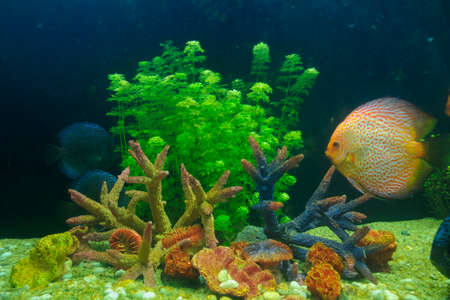 Symphysodon discus and corals in an aquarium Stock Photo - 23326992
