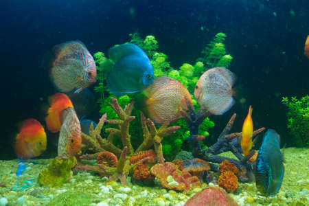Symphysodon discus and corals in an aquarium Stock Photo - 23326993
