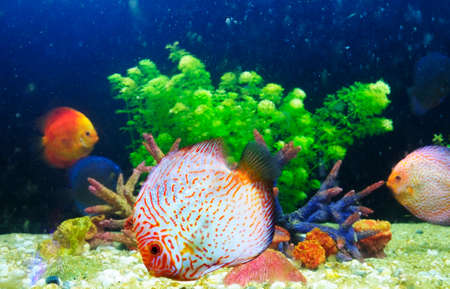 Symphysodon discus and corals in an aquarium Stock Photo - 23326995