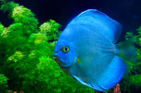 Blue Symphysodon discus  photo