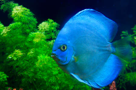 Blue Symphysodon discus  Stock Photo - 23326997