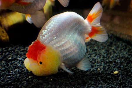 carassius auratus: Goldfish, Carassius auratus, lionhead, swimming underwater