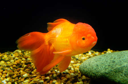 Goldfish, Carassius auratus, lionhead, swimming underwater photo