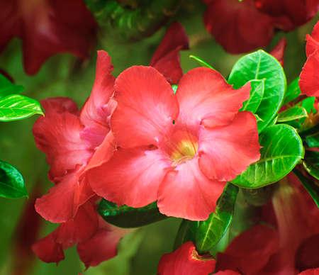adenium obesum: Red Adenium obesum tree, Desert Rose, Impala Lily