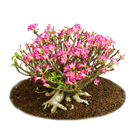 Pink Adenium obesum tree, Desert Rose, Impala Lily photo