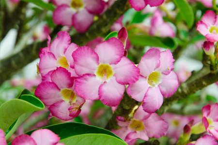 obesum: Pink Adenium obesum tree, Desert Rose, Impala Lily