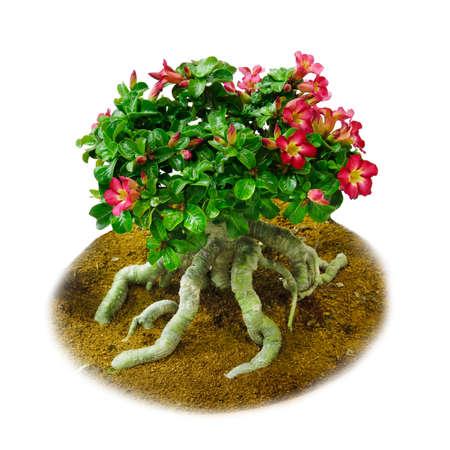 adenium obesum: Red Adenium obesum tree, Desert Rose, Impala Lily, isolated on white background Stock Photo