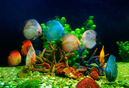 discus: Symphysodon discus and corals in an aquarium