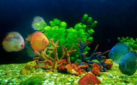 symphysodon: Symphysodon discus and corals in an aquarium