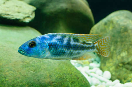 Frontosa cichlid fish, Cyphotilapia frontosa Stock Photo - 24537458