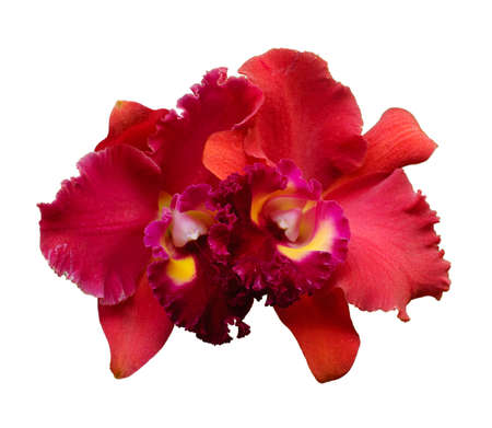 Red Orchid flower - Cattleya isolated on white background photo