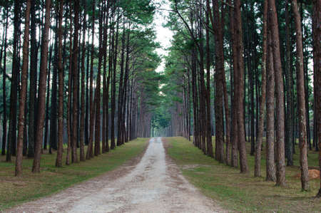 Pathway to Tunnel of Pine Trees, symmetry shot  photo