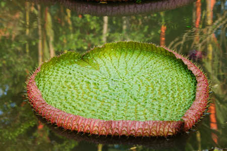 Amazonian water lilies photo