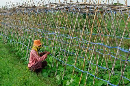 green vegetable: Green vegetable plant
