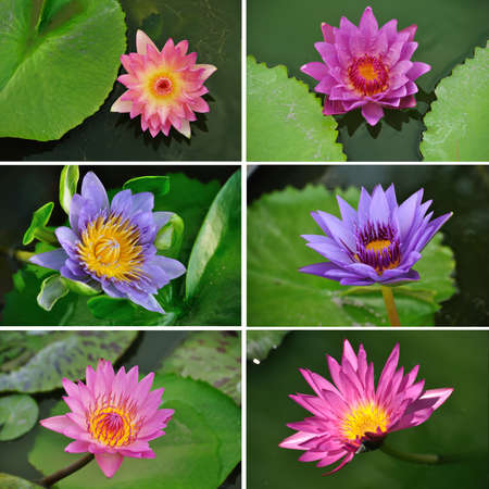 nymphaea: Collection of Pink and Purple lotus or waterlilies flowers