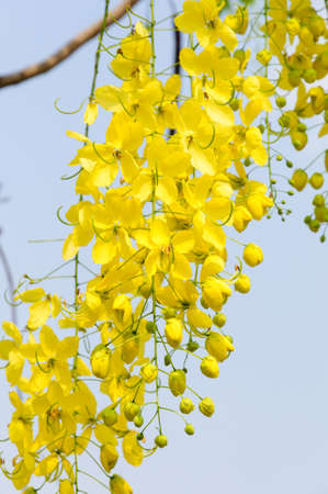 fistula: Yellow flowers, Golden shower flowers, Cassia fistula Stock Photo