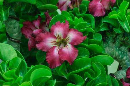 Red flowers,Adenium obesum, impala lily or desert rose on green leaves photo