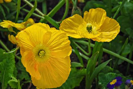 papaver: Yellow Poppy Flowers, Papaver Nudicaule
