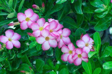 adenium obesum: Pink flowers,Adenium obesum, impala lily or desert rose on green leaves