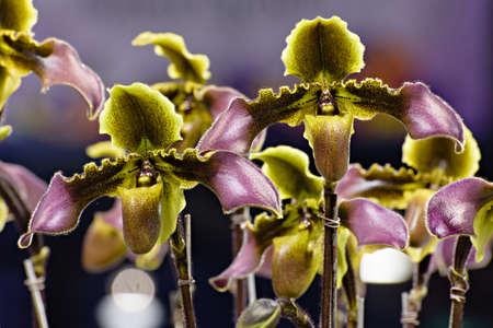 lady's slipper: Ladys slipper orchid - Paphiopedilum hirsutissimum Stock Photo
