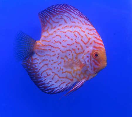 cichlidae: Orange Pompadour, Discus Stock Photo