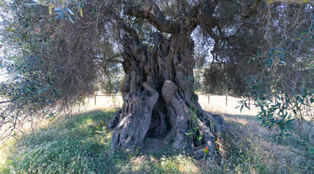 detail of the trunk of the millennial olive tree that lies in the large garden of secular olive trees, southern Sardinia