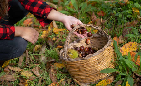 A woman holds a bunch of chestnuts in the background of the undergrowth of Aritzo, central Sardinia. Autumn harvest