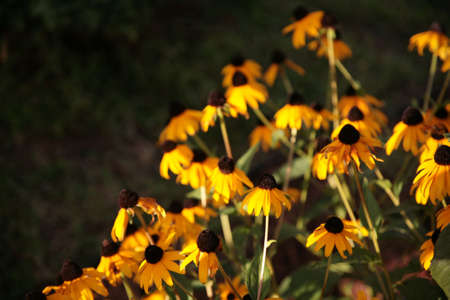 illustration of sunflower in garden Zdjęcie Seryjne