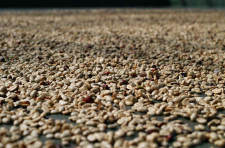 Coffee beans in the drying process