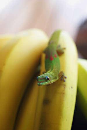illustration of gecko on bananas   Zdjęcie Seryjne