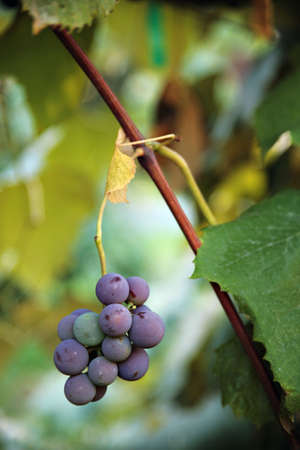 view of grapes hanging on vine     photo