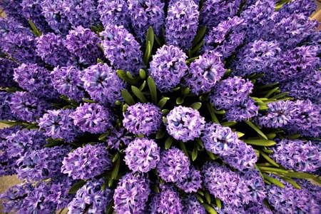 정원에서 Hyacinths의 그림