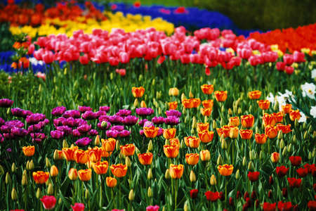 view of colorful Tulips in the farm      Imagens