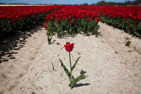 scene of Tulips in the farm