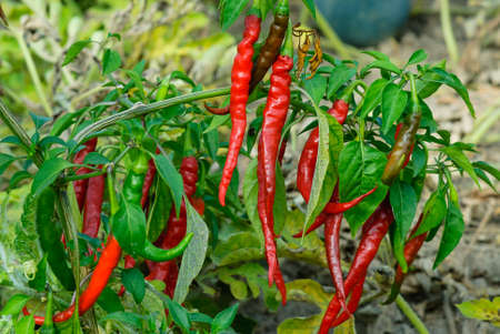 Red chili peppers on the branch, virascivanie in the garden Banco de Imagens - 74264906