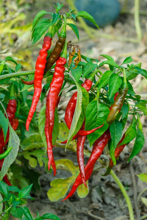 Red chili peppers on the branch, virascivanie in the garden Banco de Imagens - 74264907