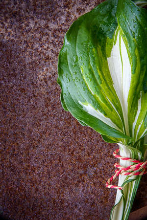 Green leaves from the garden, host plants, isolated, isolated on rusty background Banco de Imagens - 83140469