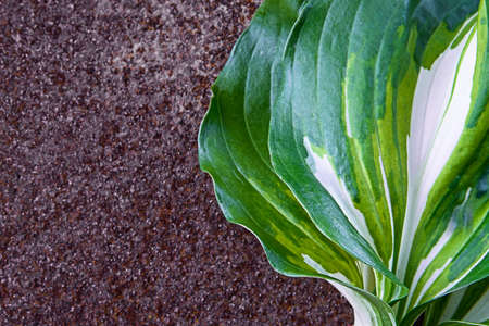 Green leaves from the garden, host plants, isolated, isolated on rusty background Banco de Imagens - 83140471