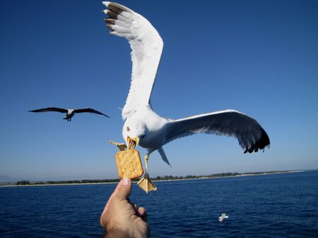 cooky: very friendly seagull takes cooky from man s hand Stock Photo