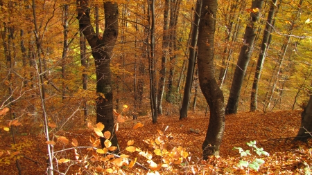 lonely wild cherry tree in a fall colored beech forest, Mt Goc, Serbia photo