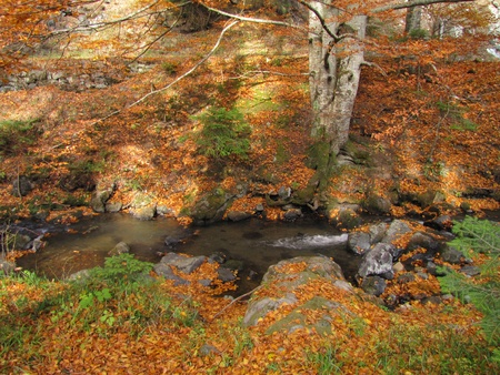 big beech tree in autumn besides clear mountain stream photo